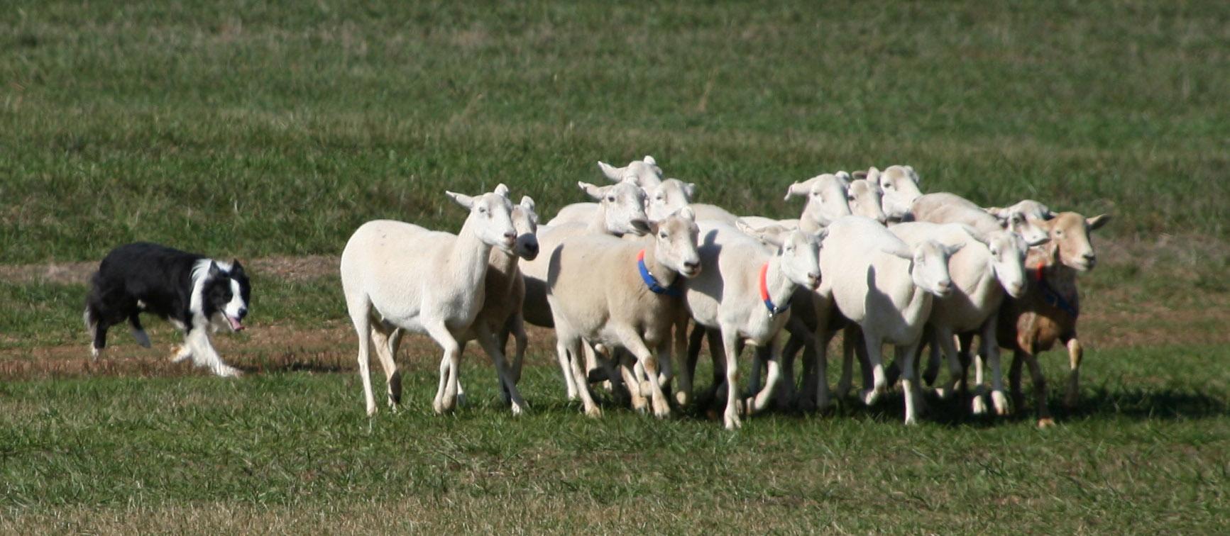 Criado para o pastoreio, o Border Collie se adaptou muito bem a vida urbana