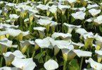 plantas venenosas4